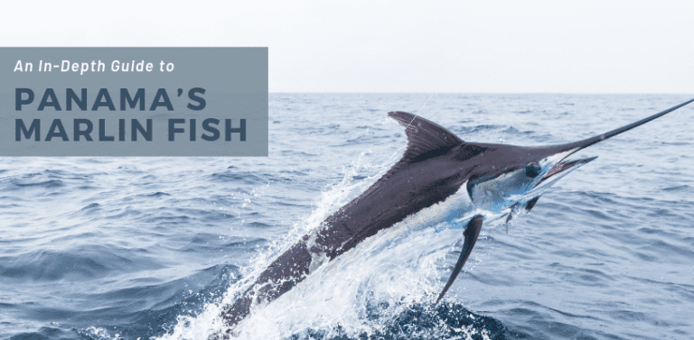 An In-Depth Guide to Panama's Marlin Fish