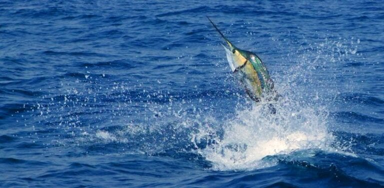 Marlin Fishing: How to Prepare for Your Trip to Panama