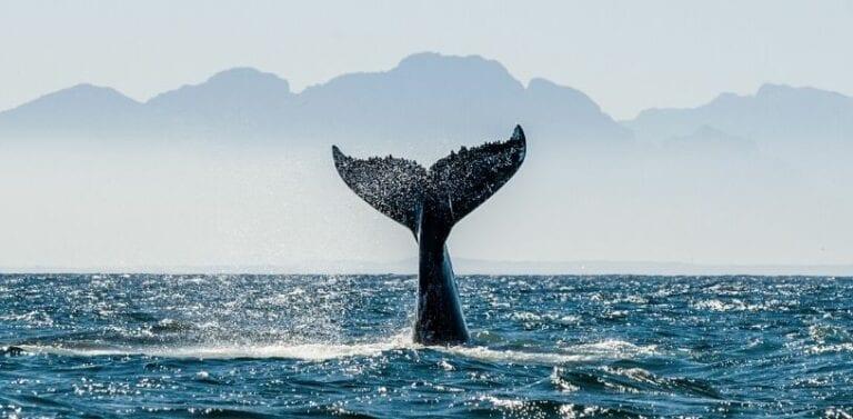 Humpback Whale Watching in Panama