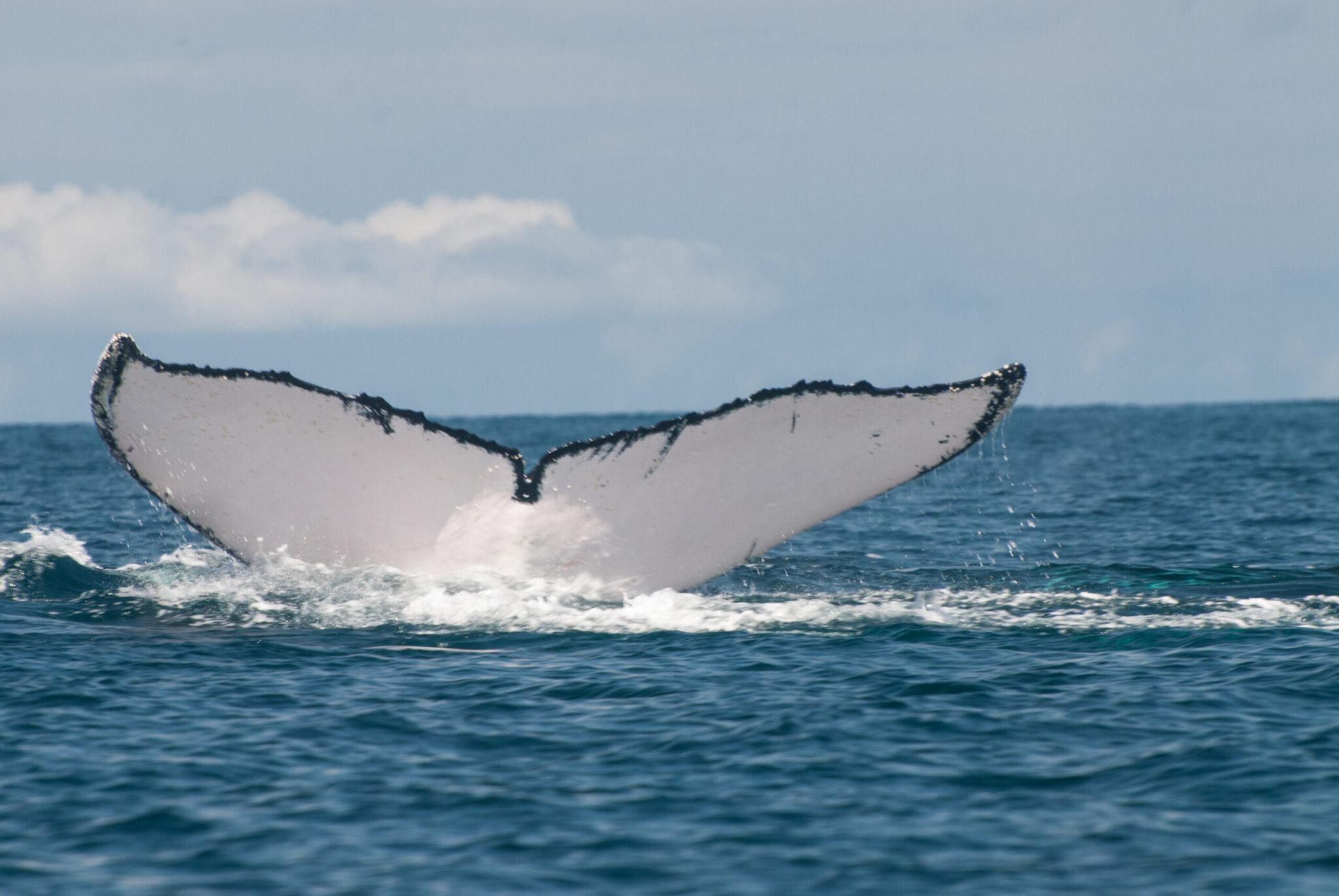 Panama whales