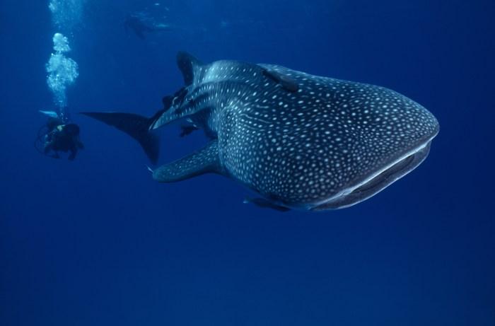Cobia Whale Shark