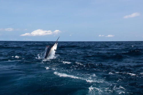 Panama Nautical Club Marlin Action