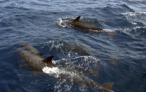 MartinFalklind Dolphin O8Q0252